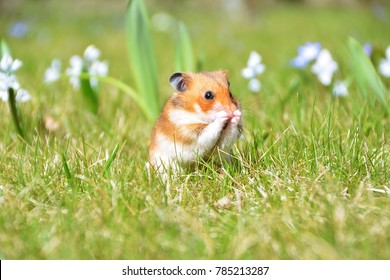 sweet Syrian hamster in the garden on a background of spring