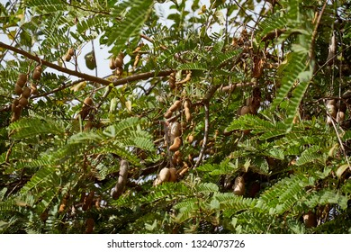 Sweet tamarind and leaf on the tree. Raw tamarind fruit hanging on the tree in the garden with natural background.