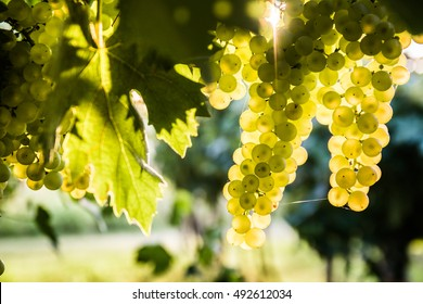 Sweet and tasty white grape bunch on the vine.