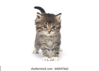 Sweet Tiny Kitten on a White Background