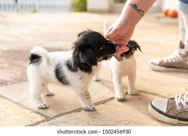 Sweet tricolor Jack Russell Terrier puppies playing with her owner. 7,5  weeks old young doggies