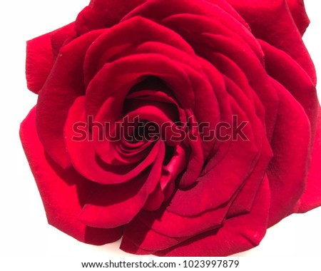 Sweet Valentines Red Roses Flower Garden Stock Photo Edit Now