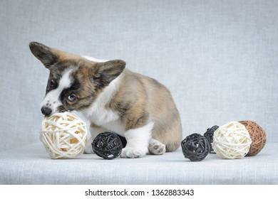 Sweet welsh corgi cardigan puppy