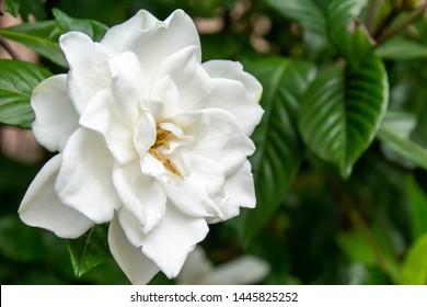 It is a sweet white, white gardenia flower.
