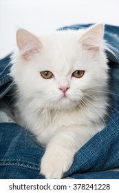 Sweet white kitten