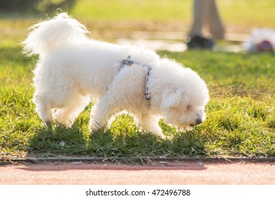 Sweet White Terrier Walking on a Grass