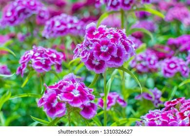 Sweet William, Garden Plant