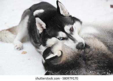 Sweet winter Husky
