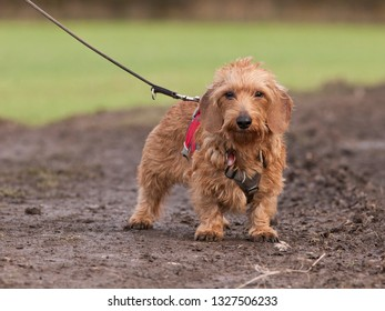 Sweet wirehaired dachshund on a leash