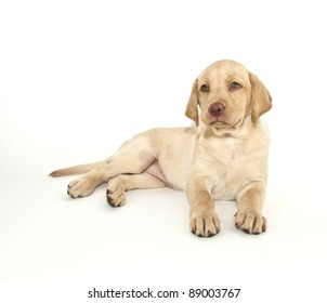 Sweet yellow Lab puppy laying on a white background.