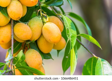 Sweet yellow Marian plum ,Plum mango ,Marian mango or plango (mayongchit in Thai) is the most popular grown fruit in Nakhon Nayok provinces.