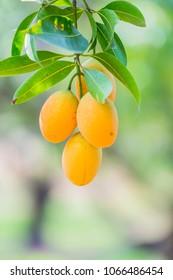 Sweet yellow Marian plum ,Plum mango ,Marian mango or plango (mayongchit in Thai) is the most popular grown fruit in Nakhon Nayok provinces.