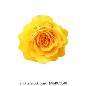 Sweet yellow rose flowers head blooming isolated on white background with clipping path , top view single beautiful natural patterns