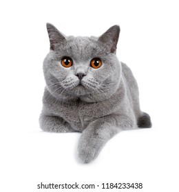 Sweet young adult solid blue British Shorthair cat kitten laying down front view, looking at camera with orange eyes and one paw hanging over edge, isolated on white background