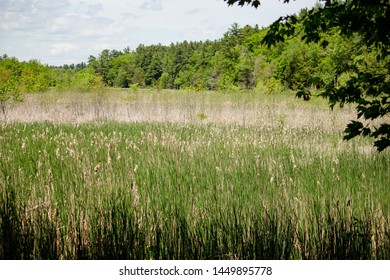 A sweetgrass field with forest in the background