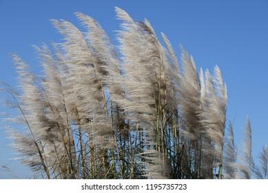 sweetgrass in spain, Costa Blanca