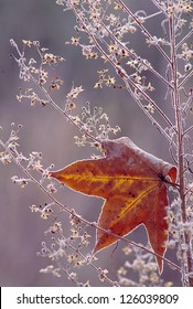 Sweetgum leaf rimmed in frost caught in a frosty weed