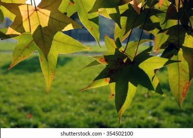 Sweetgum leaves  in autumn