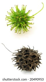Sweetgum (Liquidambar styraciflua) tree fruits; green, immature the first one and ripe the second. Rosario city, Argentina