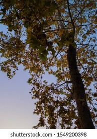 Sweetgum tree with colorful green, yellow, and orange changing leaves at dusk in autumn shot from below looking up at the silhouette with a purple sky and afterglow in the background.