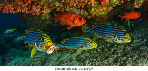 Sweetlips and Soldier fish,under a reef.