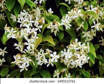 Sweetly scented white flowers of star jasmine or false jasmine climbing vine (Trachelospermum jasminoides , Confederate jasmine, Southern jasmine)