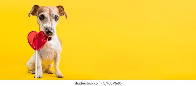 un perro amante del corazón Jack Russell terrier comiendo caramelo rojo en forma de caramelo dulce lollipop. Fondo amarillo brillante. Concepto de sentimiento romántico. pancarta horizontal larga de la confitería.