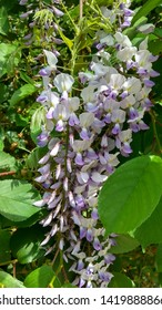 Sweet-scented, wisteria bicolour, violet flower long truss hanging down against green foliage. Wisteria vine pendulous, two-color flower raceme against foliage. Truss of violet-white florets & leaves.
