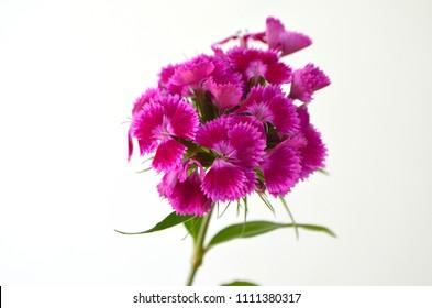 sweet-william  carnation flower perennial plant