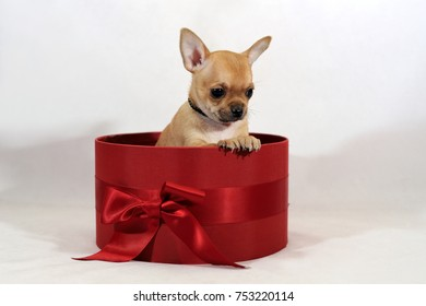 Sweety short-haired Chihuahua puppy in the red gift box with a bow on a white background.