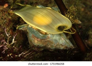 Swell shark egg case on snail