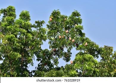 Swietenia macrophylla King (Brazilian Mahogany, Broad-leaved Mahogany, False Mahogany, Hondurus Mahogany) ; A colorful of brown fruits on high tree. Increased prominence by green leaves & blue sky.
