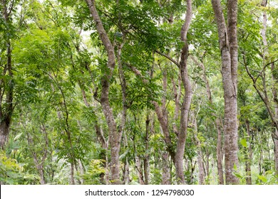 Swietenia mahagoni, commonly known as American mahogany, Cuban mahogany, small-leaved mahogany, and West Indian mahogany, is a species of Swietenia native to southern Florida in the United States and