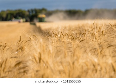 Swift Current, SK, Canada- Sept 8, 2019: Heads of wheat in the foreground with 2 combines and a grain truck in the background harvesting on the prairies
