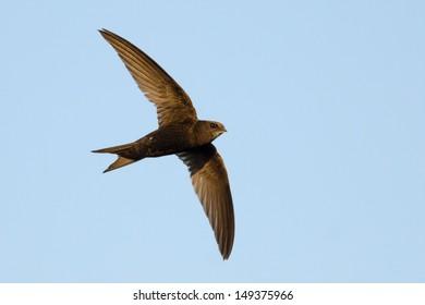 Swift in flight on blue sky background