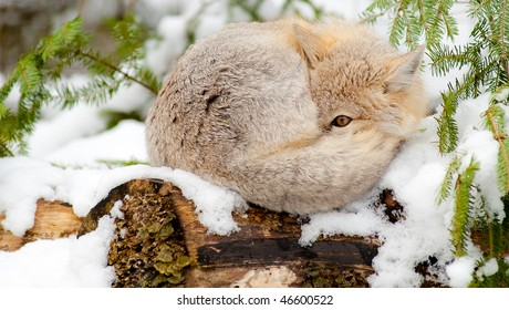 Swift fox (Vulpes Velox) resting in its natural habitat. Sleeping on snow with one eye open.