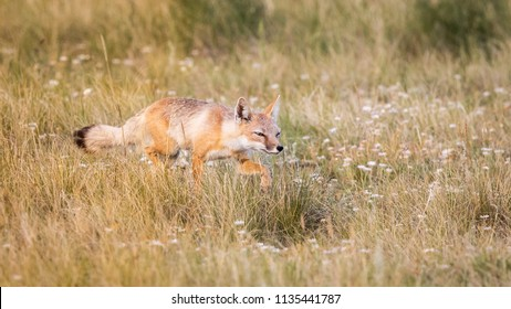 Swift Fox, Wise Foxes