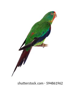 Swift Parrot on white background