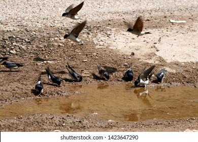 swifts taking mud to make nests