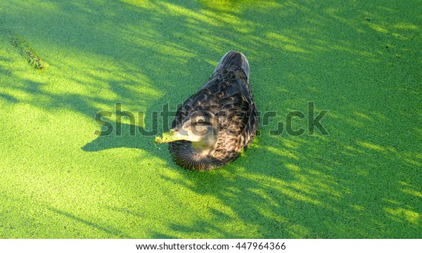 Swiming duck in green morass at summer.