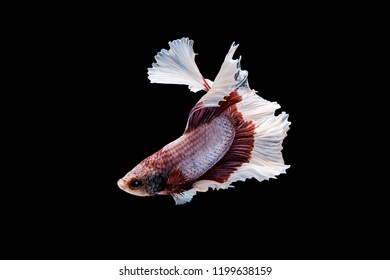 Swimming Action of Betta, Siamese fighting fish, Betta splendens, pla-kad ( biting fish) Thai; Halfmoon betta isolated on black background