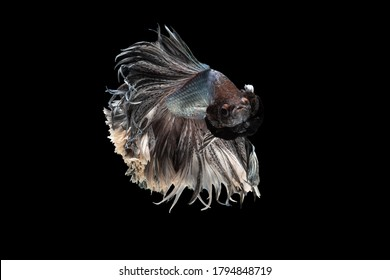 Swimming Action of Betta, Siamese fighting fish; Halfmoon silver and white betta isolated on black background