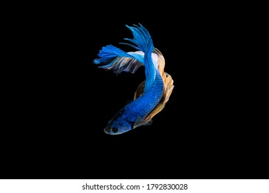 Swimming Action of Colorful Halfmoon blue and orange betta or bite fish isolated on black background