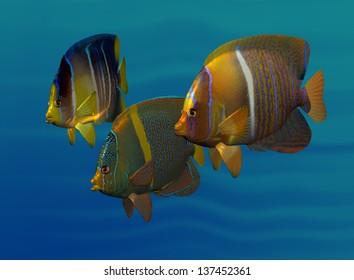 Swimming Angelfish Three varied and colorful angelfish swimming side by side in three-quarter view.