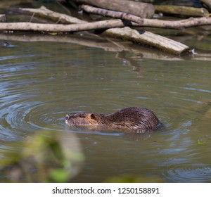 swimming beaver in a German zoo