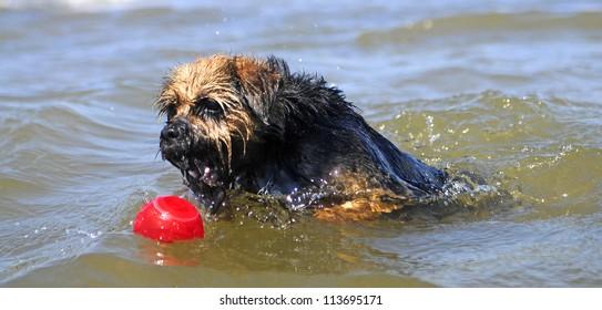 Swimming Border Terrier