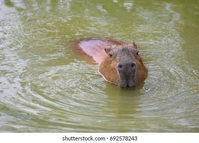 Swimming Capybara