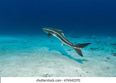 Swimming Cobia (Rachycentron canadum)