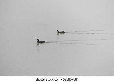 swimming couple duck