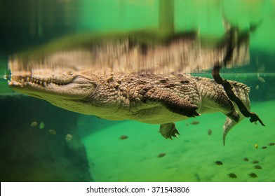 Swimming crocodile under the water surface - Shutterstock ID 371543806